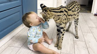 SERVAL ENTERTAINS A CHILD / Maine Coon takes revenge on Melissa