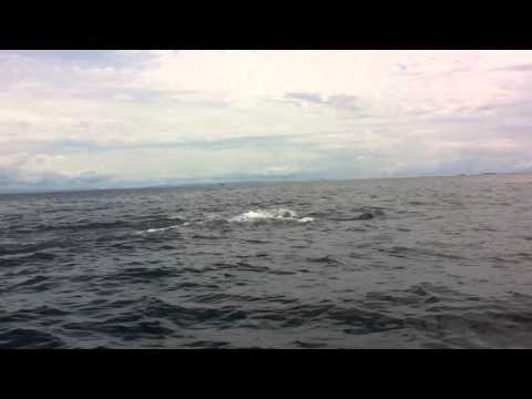 Whale Watching in the Gulf of Chiriqui, Republic if Panama,