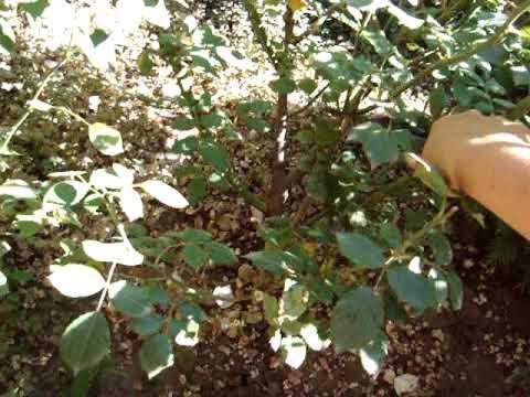 Обрезка кустовой розы осенью сорт Гейша