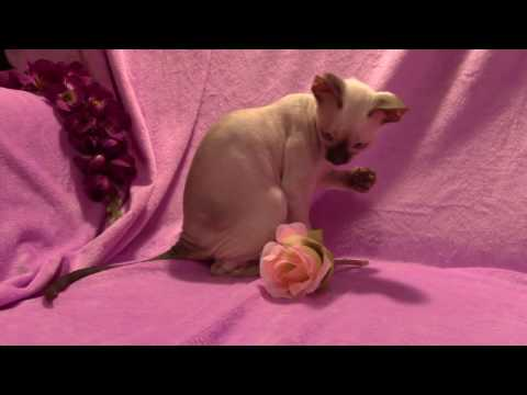 Cornish Rex kitten celebrating VALENTINES Day- LAIMA