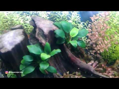 tanaman-anubias-barteri--tanaman-favorit-untuk-aquascape