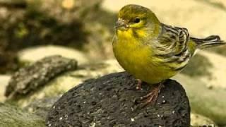 Os verdadeiros Canarios-do-Reino em estado selvagem. Ouça o seu lindo canto!
