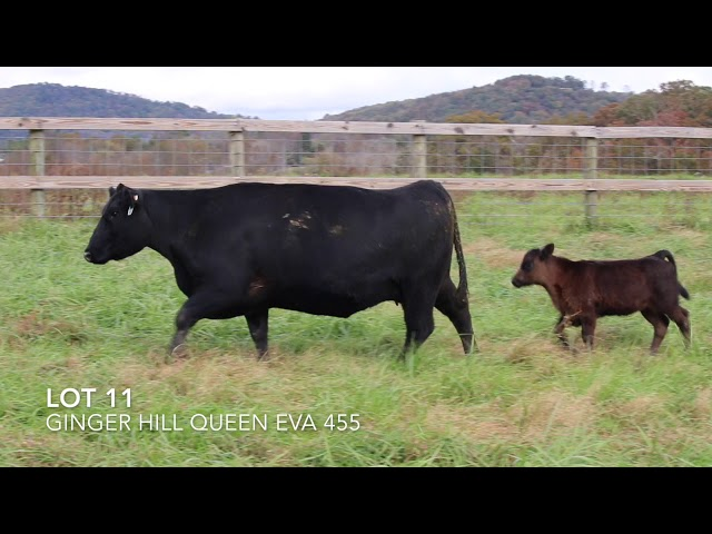 Ginger Hill Angus Lot 11
