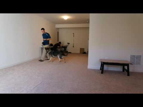 German Shepherd Heeling - Best Buddy Dog Trainer