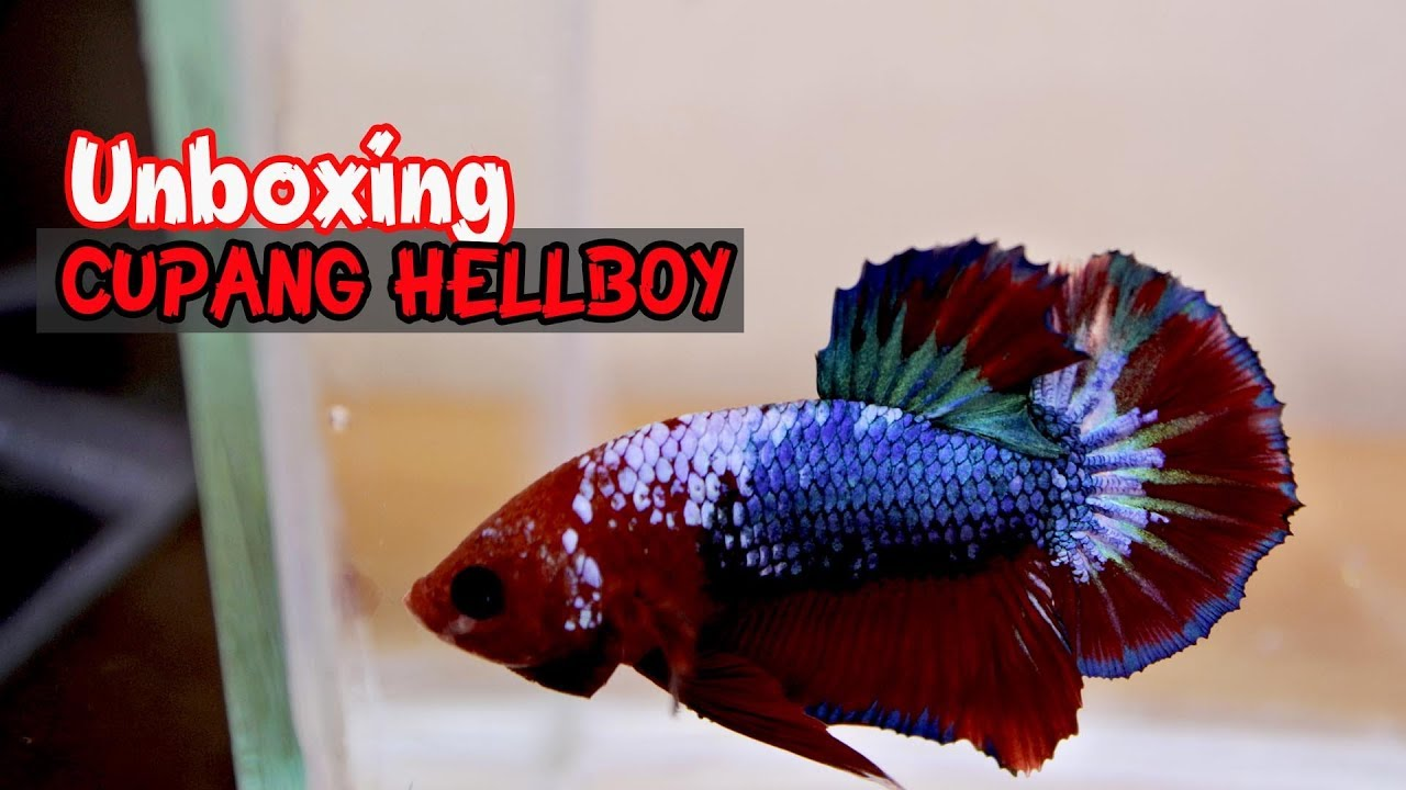 Unboxing Ikan Cupang Plakad Hellboy Super Cantik Youtube