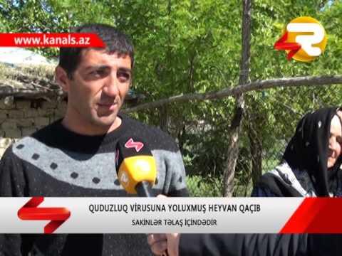 SHEKIDE QUDUZLUQ VIRUSUNA YOLUXMUS HEYVAN...