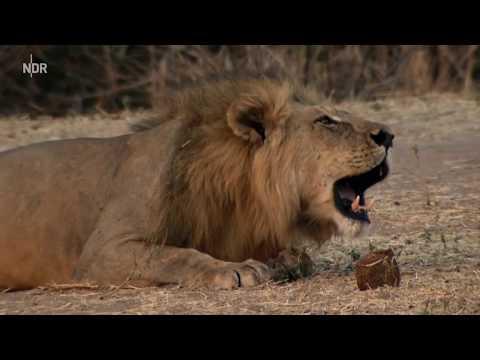 Das Reich der Löwen Nat Geo Wild DOKU