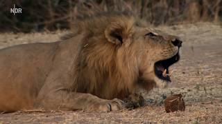Das Reich der Löwen [Nat Geo Wild DOKU]