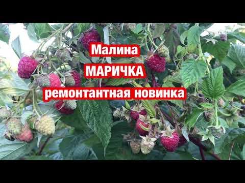 Малина МАРИЧКА- ремонтантная