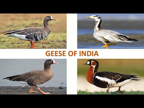 Geese of India 🇮🇳