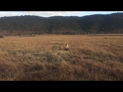 Masai Mara live shoot by mr Amar