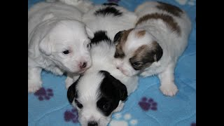 Coton Puppies For Sale - Haylie 11/12/20