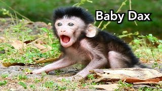 No Cry Breaking Heart! How To Cute Adorable Baby Monkey Dax Open Big Mouth and Strong Walking