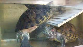 8) Аквариум-террариум для черепах спустя 2 года. Отчёт перед подписчиками
