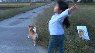 柴犬タロウと家族の日記。 今日はグイグイきます。 ShibaInu is very active #柴犬 #ShibaInu.