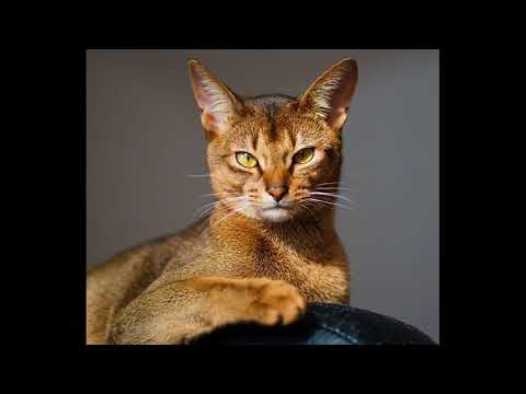 abyssinian cat breeders illinois