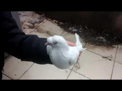 Arkadaşımın Güvercinleri ???