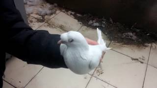 Arkadaşımın Güvercinleri