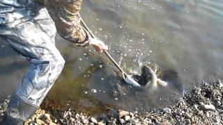 как ловить змееголова острогой