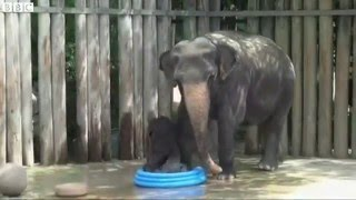 Funny videos – try not to laugh – Baby Elephants: Cute and Funny Elephants, Goofy Baby Elephant