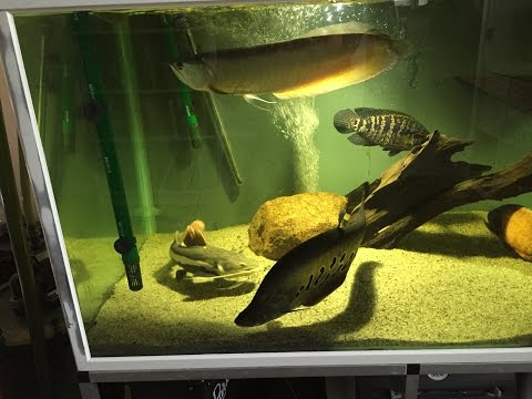 Electric Eel Facts as well ZgijyZ93lHA likewise Cichlid 2C 20Texas 20Spawning likewise WTYft03oAwU moreover MbKMRZ7iE4E. on oscar fish laying eggs and behavior