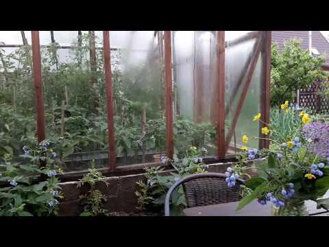 Опрыскивание томатов фитоспорином, профилактика болезней безопасным биологическим средством