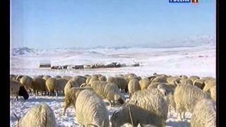 Сельское утро - Овцеводство