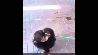 فيديو كيف استقبل صغير الشمبانزي صديقه بعد فترة غياب؟