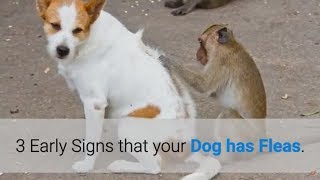 Flea Red Alerts - 3 Early Signs You MUST Notice!