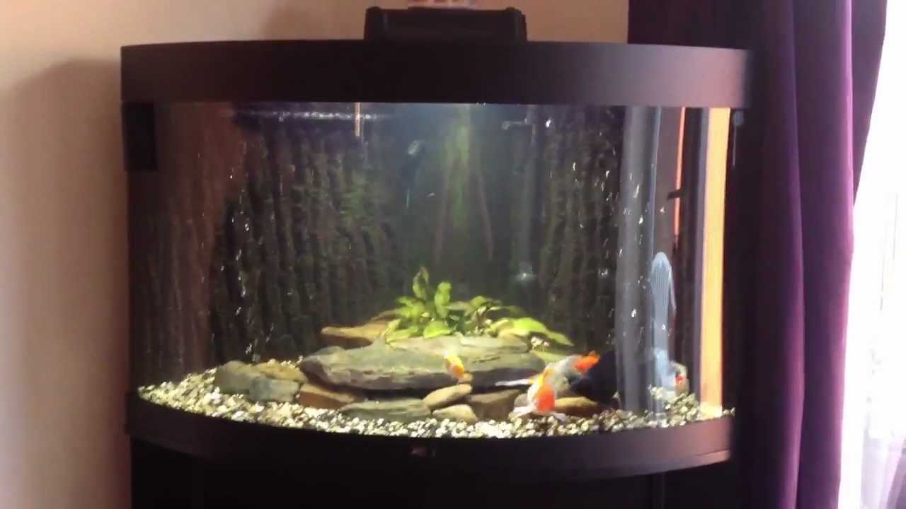 jays juwel trigon 190 fancy goldfish aquarium youtube. Black Bedroom Furniture Sets. Home Design Ideas