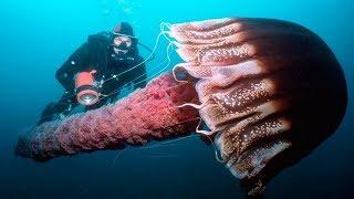Животные (Часть 14) -  Класс Сцифоидные медузы