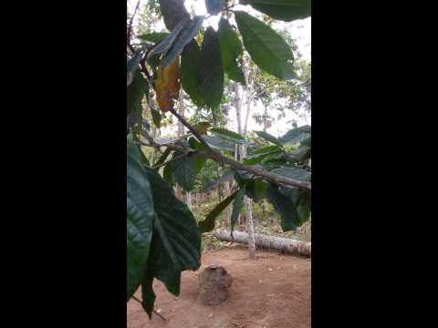 Burung Cito / Sirpu  Slogohimo