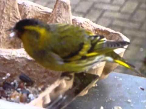 P1110186 Erlenzeisig Singvogel Aus Der Familie Der Finken Vogel