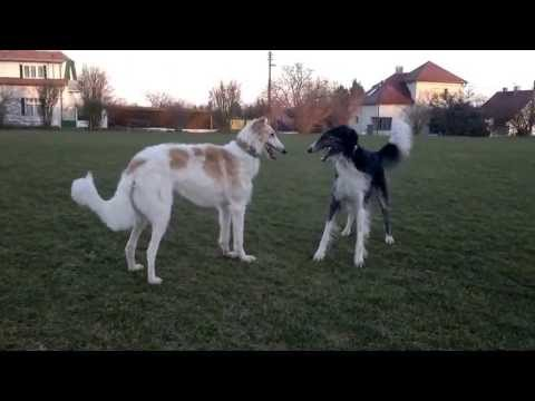 Borzois Aer&Toy - dancing and playing with great danes