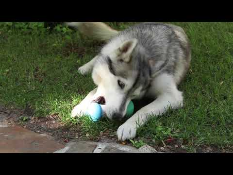 WickedBone Review World's First Smart & Interactive Dog Toy
