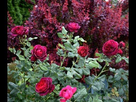 Лучшее удобрение для роз, гортензий и клематисов!  Удобрение Осмокот РПО 5-6 м