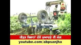 Agriculture: Farmers in Punjab compel to destroy their green chilli grain