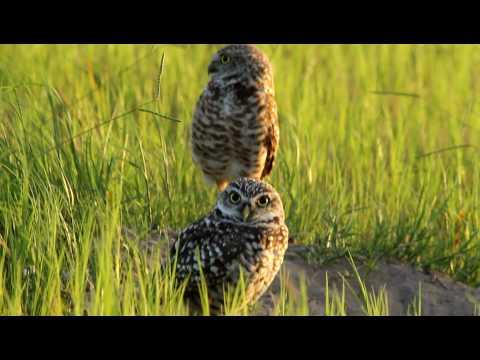 Florida Atlantic University Burrowing Owls