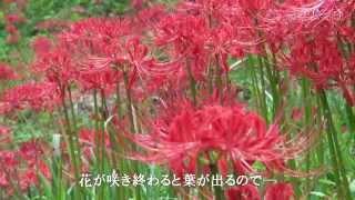 この花は名の通り秋のお彼岸の頃に咲くので彼岸花となった。雪国植物園...