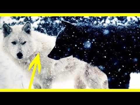National Geographic Wild Animals Fight-Black Wolf Dog Documentary Yellowstone