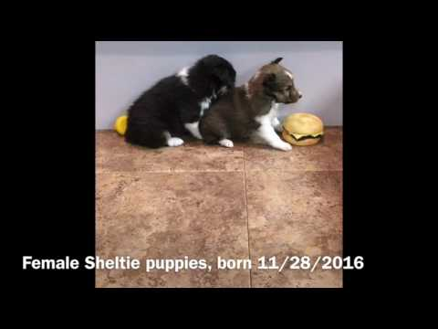 Female Sheltie Puppies