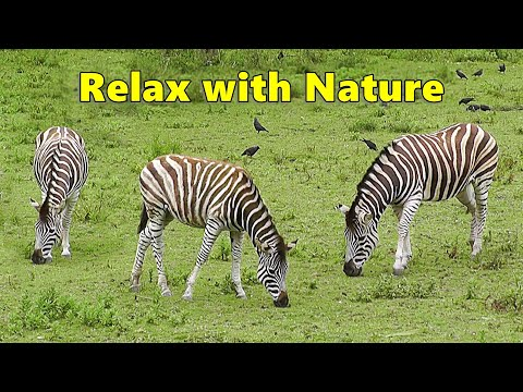 TV for Dogs : Dog Relaxation Video for Separation Anxiety - Zebra Fun