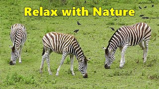 TV for Dogs : Dog Relaxation TV & Videos - Zebra Fun