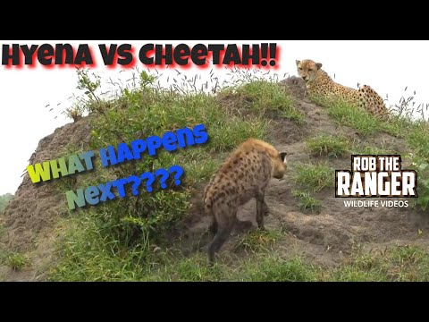 Big Hyena Confronts Injured Cheetah (Presented By Righteous Reptiles)