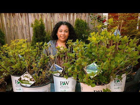 Hydrangea Planting Tips - Planting 5 Different Hydrangeas In Containers
