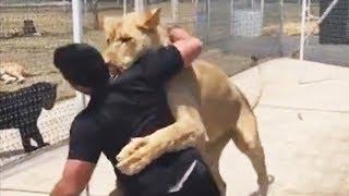 Questo leone ha rivisto il suo padre adottivo dopo 4 anni di lontananza