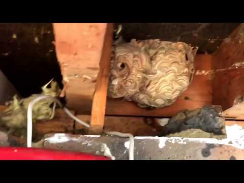 Angry Wasps nest removal Uxbridge Middlesex UB8 UB10- Call 020-8848-1254 or 07833-438822 now