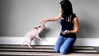 Mini Pig Shows Off His Tricks: Circle, Sit, Stay, Shake, and Jump