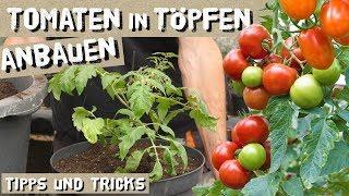 Tomaten in Töpfen/Kübeln erfolgreich anbauen - das müsst ihr beachten!