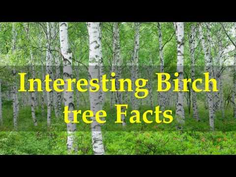 Interesting Birch tree Facts